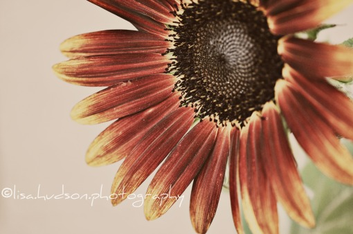 sunflower©lisahudson